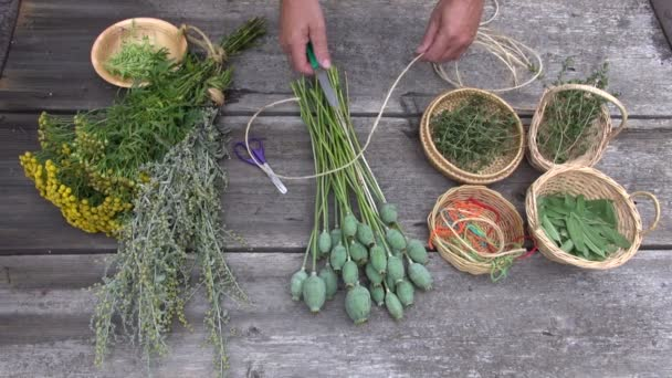 Gardener herbalist tying opium poppy bunch between other medical herbs