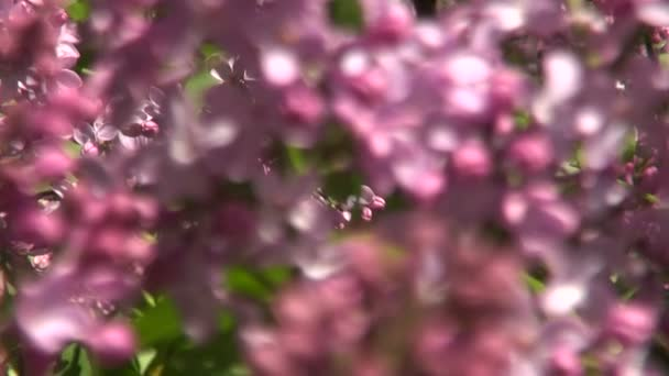 Lilacs blossoming on sunny day