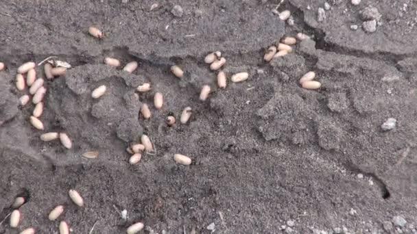 Lasius niger black garden ants moving their eggs underground