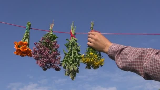 Man herbalist hanging bunches of various medical healthy herbs