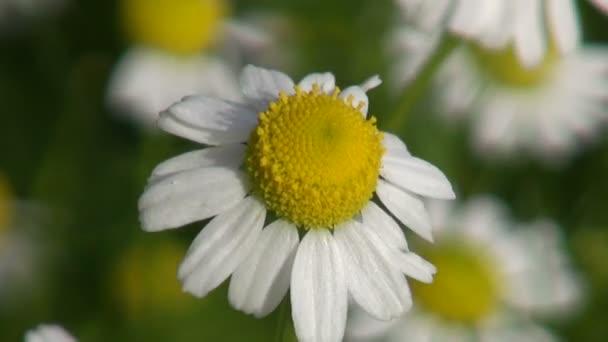 Chamomile medical Daisy blossom flowering in garden