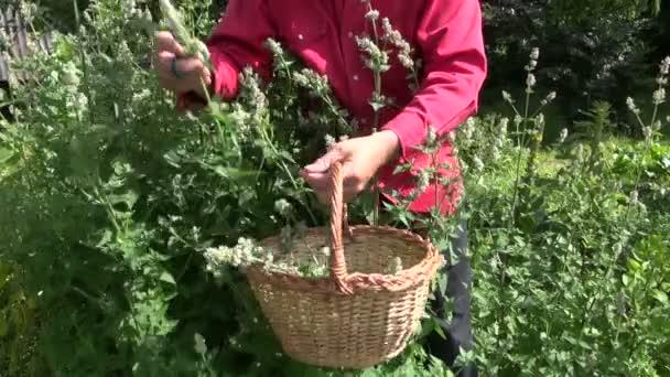 zahradník, sběr čerstvé balzám máta meduňka bylina