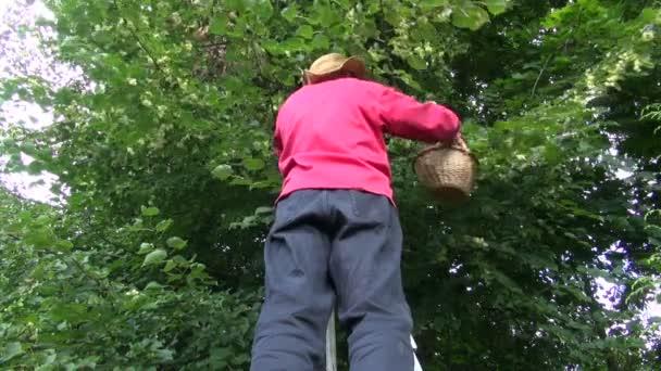 Muž sběr lipového květu stromu