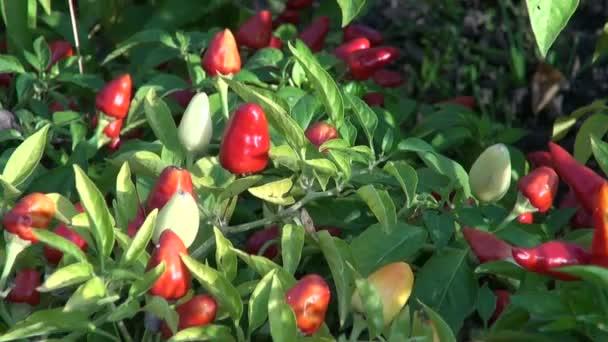 Chili pepper rostlina rostoucí v zeleninové zahradě