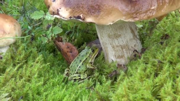 Piccola rana di acqua che si siede sotto Leccinum scabrum su muschio verde