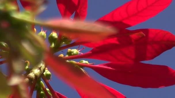 Divoké kvetoucí vánoční hvězda
