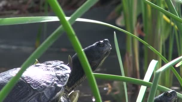 Two turtles basking in the sun by the pond