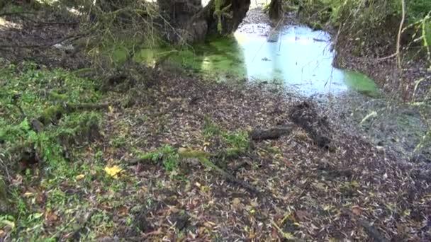 Malý rybník v bažinaté lese starý strom