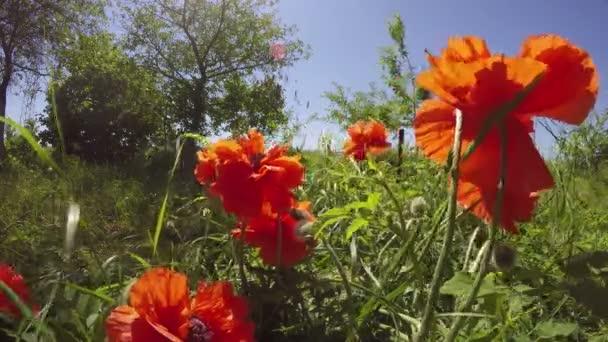 Oranžový mák květu, 4k