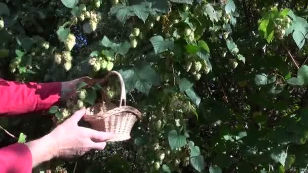Muž výdej Humulus lupulus proutěný koš