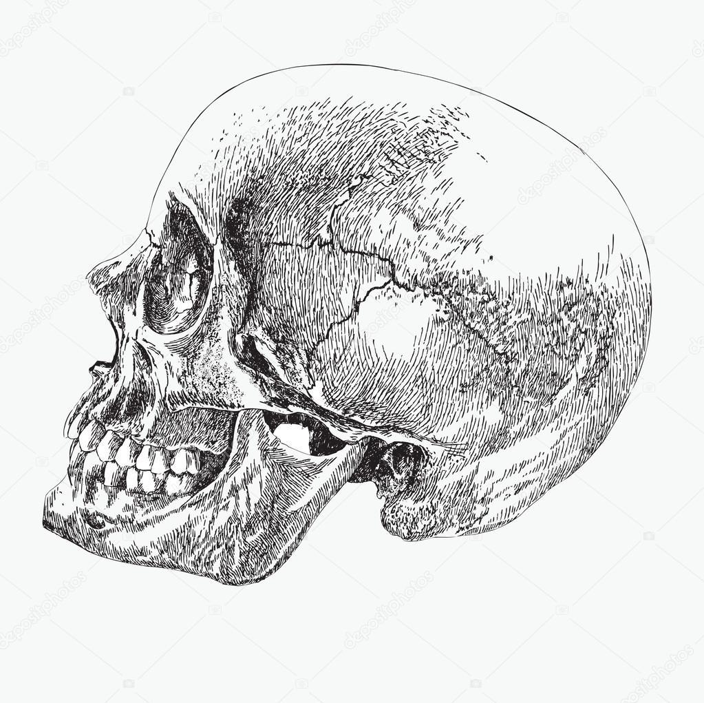 Cr ne d 39 un tre humain de profil la main de dessin - Dessin profil ...