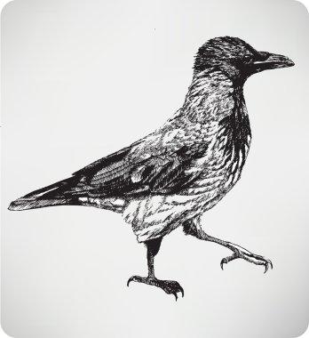 Bird hooded crow, hand drawing, vector illustration.
