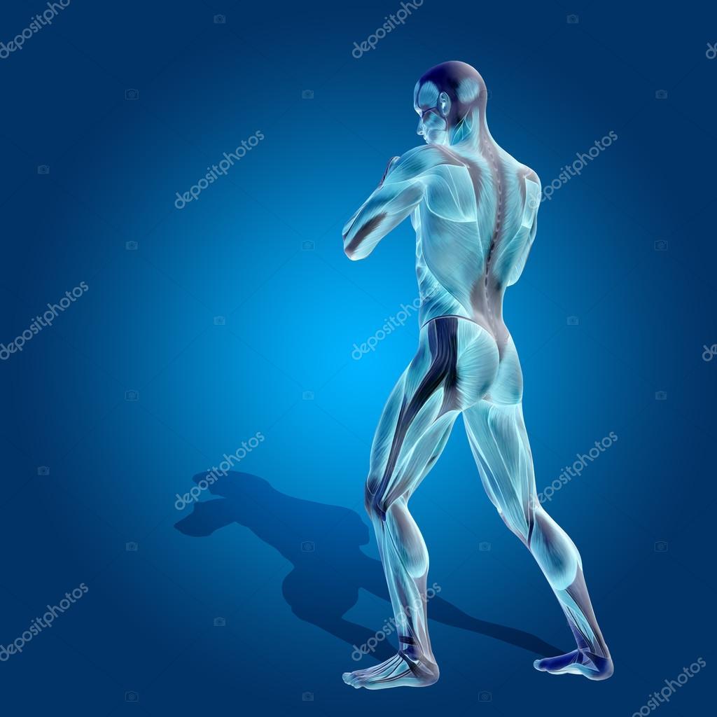Humanos conceptuales u hombre 3d anatomía cuerpo con el músculo ...