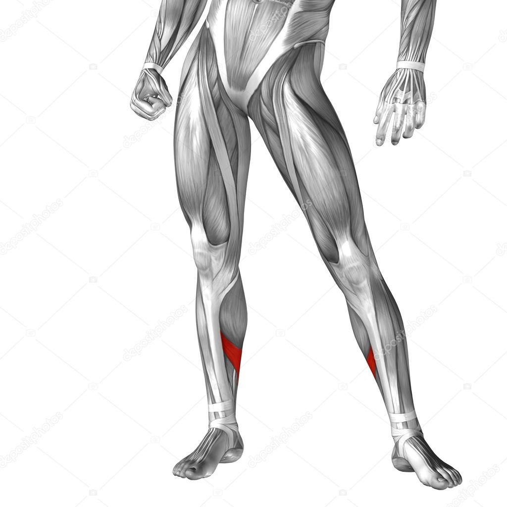 Anatomía de las piernas humanas — Fotos de Stock © design36 #100323884