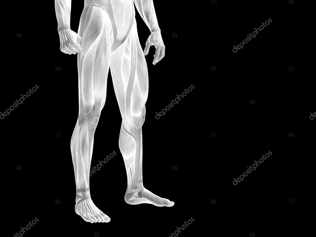cuerpo inferior de anatomía con los músculos — Fotos de Stock ...