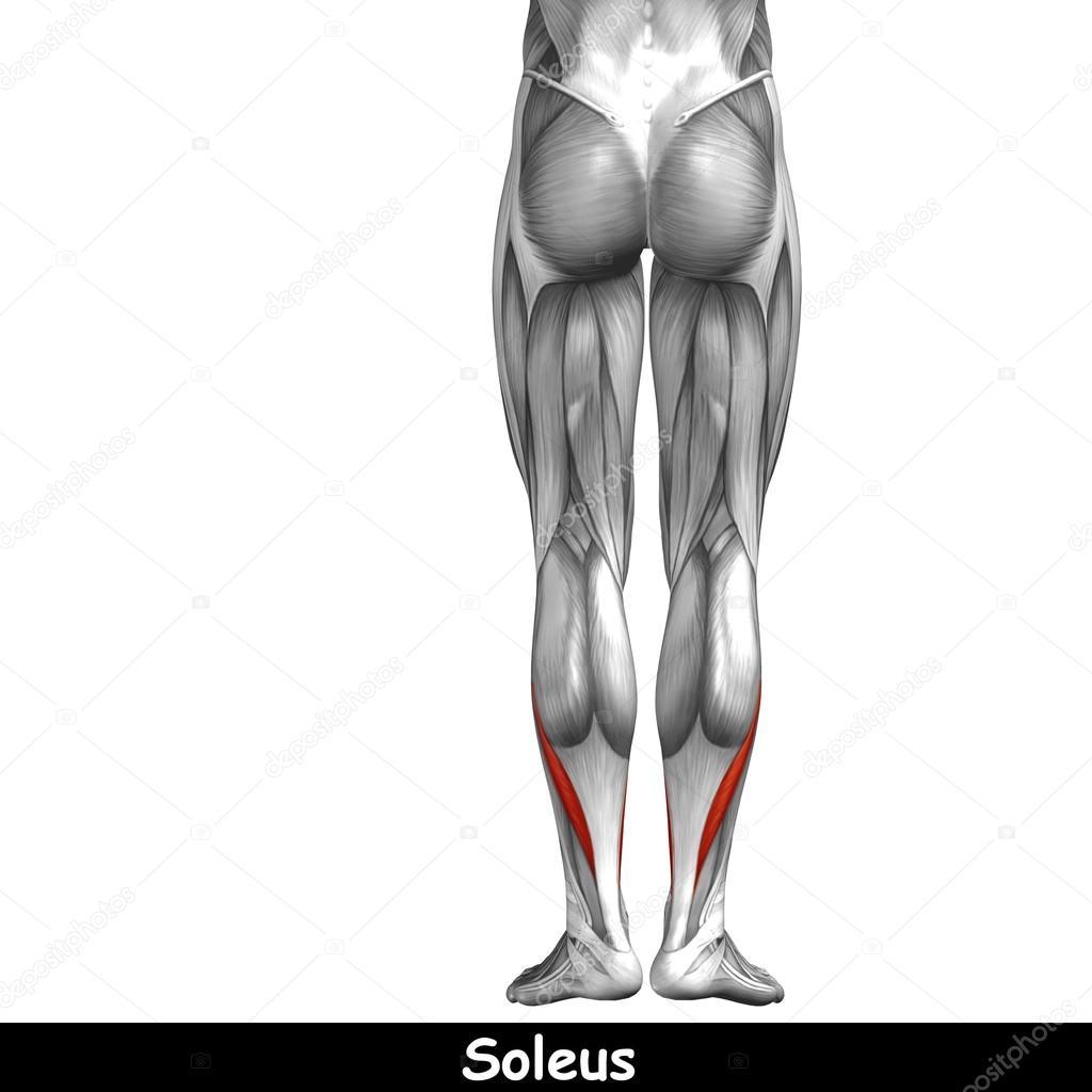unteren Beine Anatomie — Stockfoto © design36 #100530362