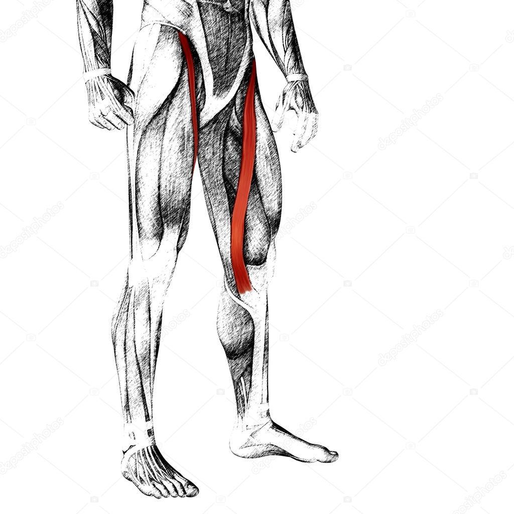 Adductor Longus Human Upper Legs Stock Photo Design36 100530652