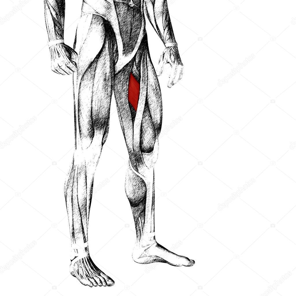 Musculus Adductor Longus menschliche Oberschenkel — Stockfoto ...