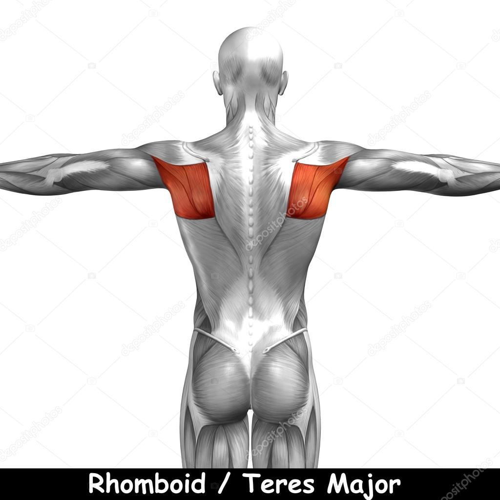 Wieder menschliche Anatomie — Stockfoto © design36 #100534394