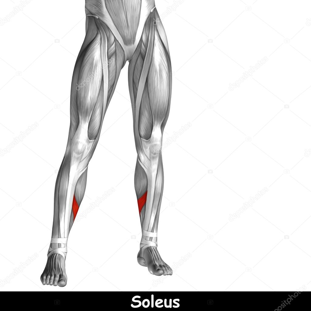 unteren Beine Anatomie — Stockfoto © design36 #100538182