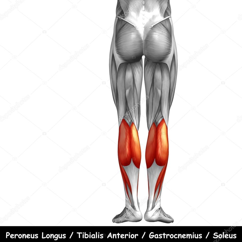 Ungewöhnlich Beine Anatomie Muskel Bilder - Menschliche Anatomie ...