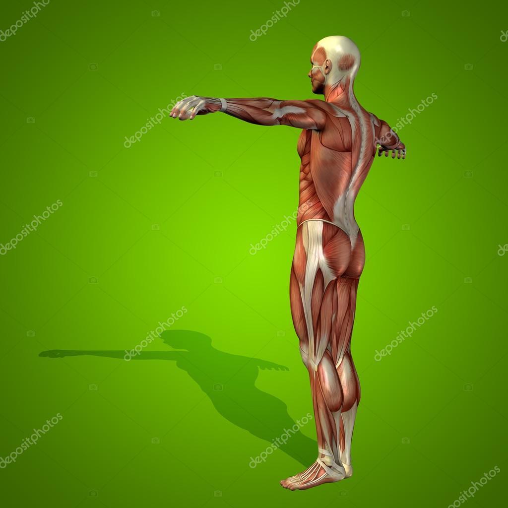 Konzeptionell stark, Mann 3d anatomie Körper mit Muskel für ...