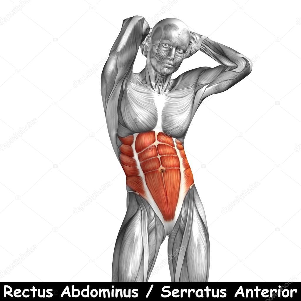 Menschliche Anatomie der Brust — Stockfoto © design36 #100540646