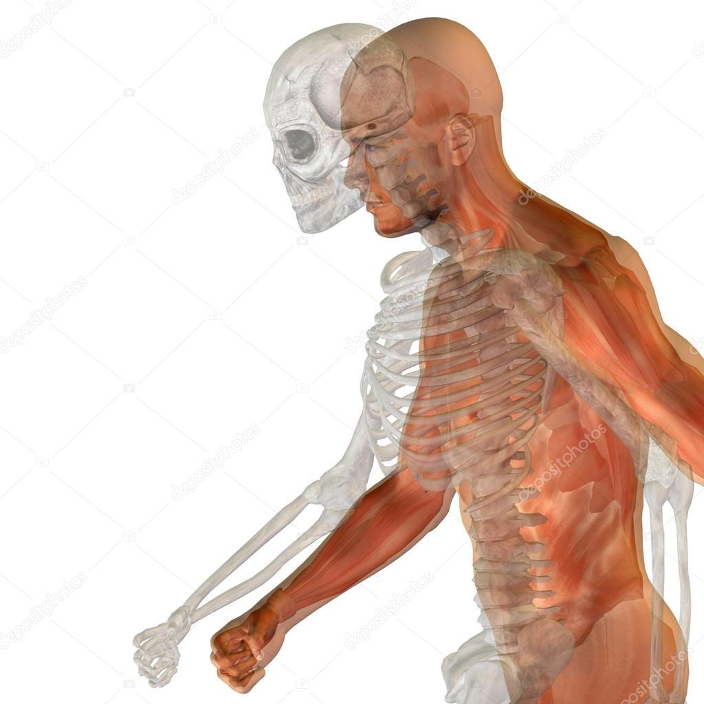 Hombre humano u hombre anatomía conceptual 3d con huesos o esqueleto ...