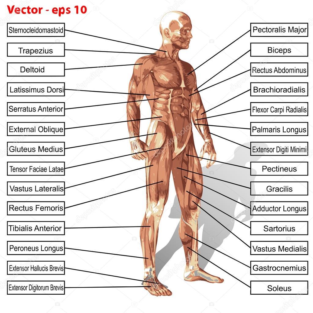 Anatomía humana hombre de vector con el texto de los músculos ...