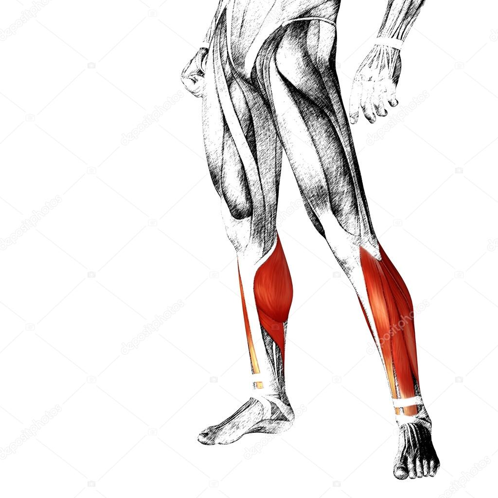 Adductor Longus Human Lower Legs Stock Photo Design36 103613534