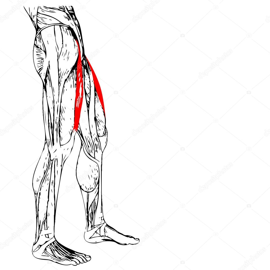 Ausgezeichnet Muskel Des Oberschenkels Anatomie Fotos - Menschliche ...
