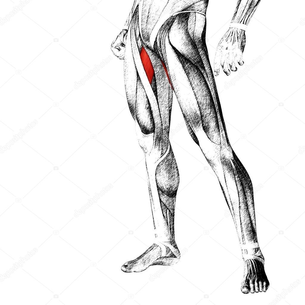 menschliche Oberschenkel-Anatomie — Stockfoto © design36 #103619416