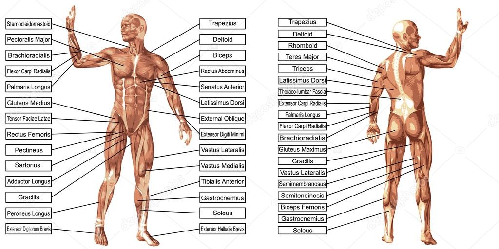 man anatomy and muscles text — Stock Photo © design36 #103619510