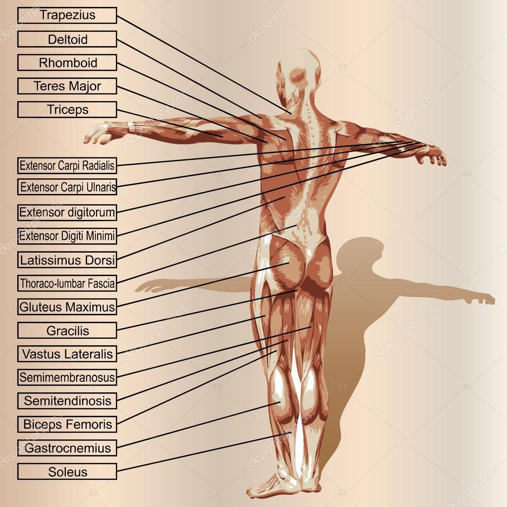 Anatomía masculina con músculos y texto — Archivo Imágenes ...