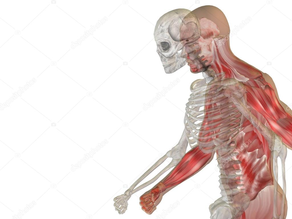 Menschliche Anatomie mit Knochen — Stockfoto © design36 #103622770