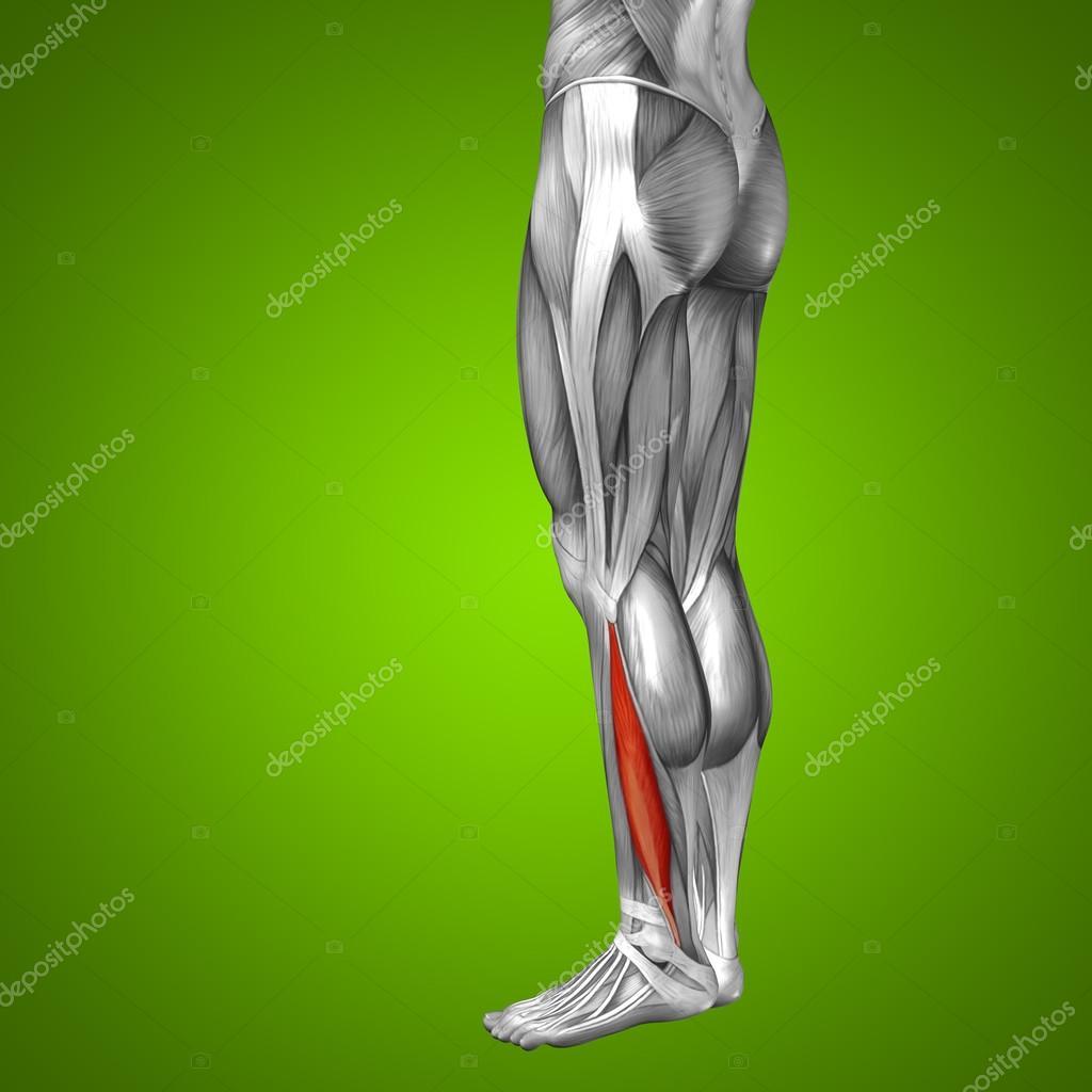 Anatomie der unteren Beine — Stockfoto © design36 #103623510