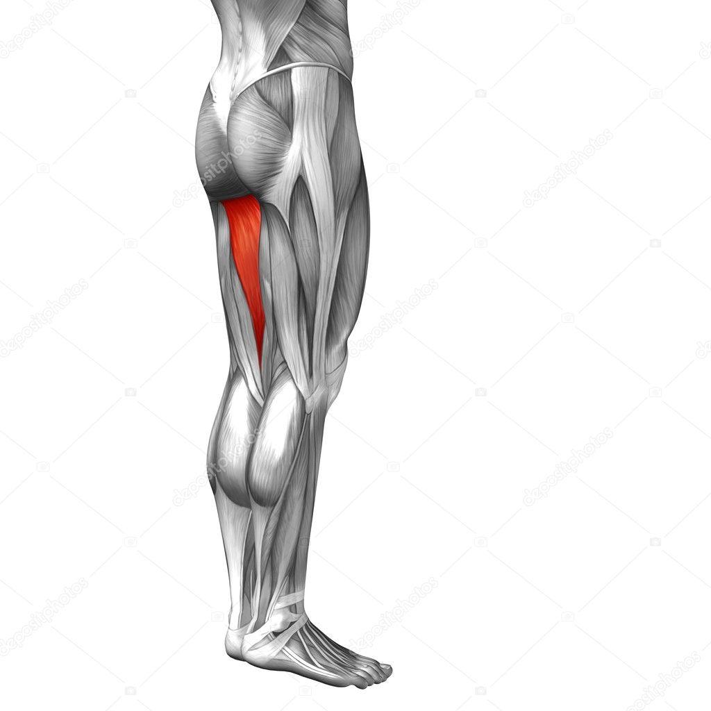 menschliche Oberschenkel — Stockfoto © design36 #103624582