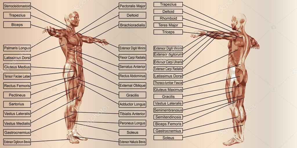 Mensch-Anatomie und Muskeln — Stockfoto © design36 #103625704