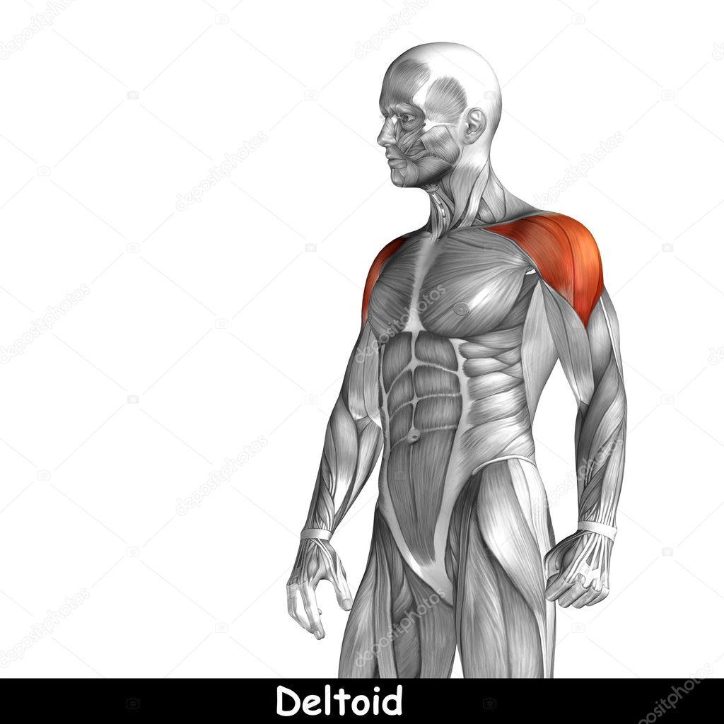 Menschliche Anatomie der Brust — Stockfoto © design36 #103628836