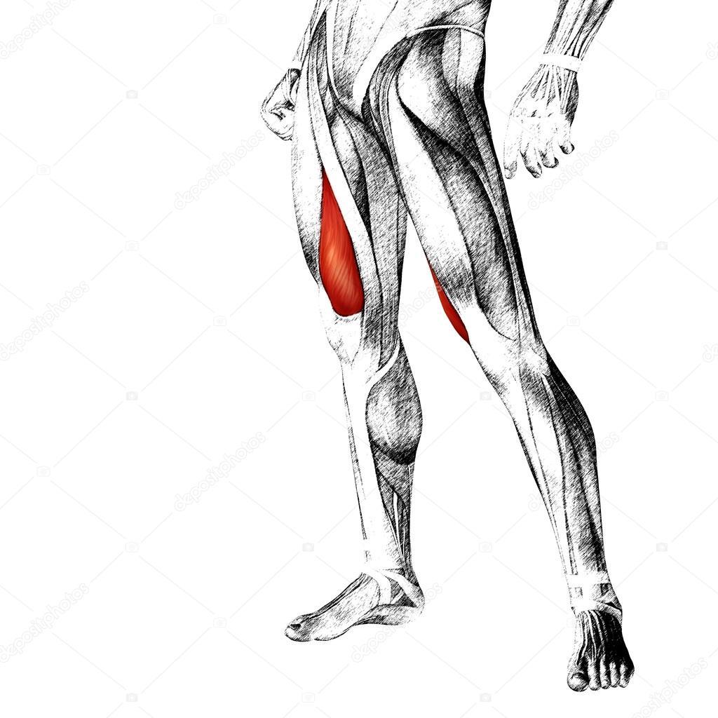 menschliche Oberschenkel-Anatomie — Stockfoto © design36 #103634744