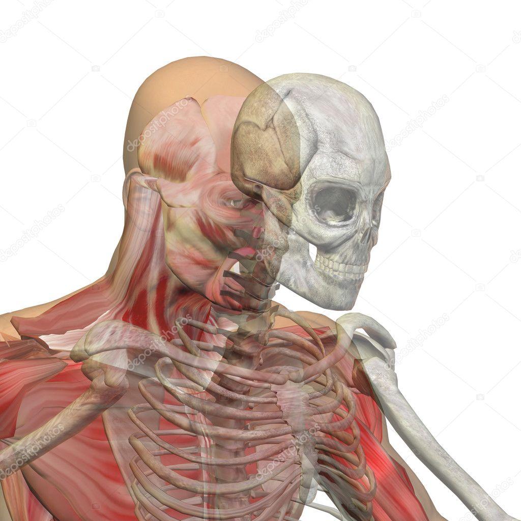 Menschliche Anatomie mit Knochen — Stockfoto © design36 #103635670