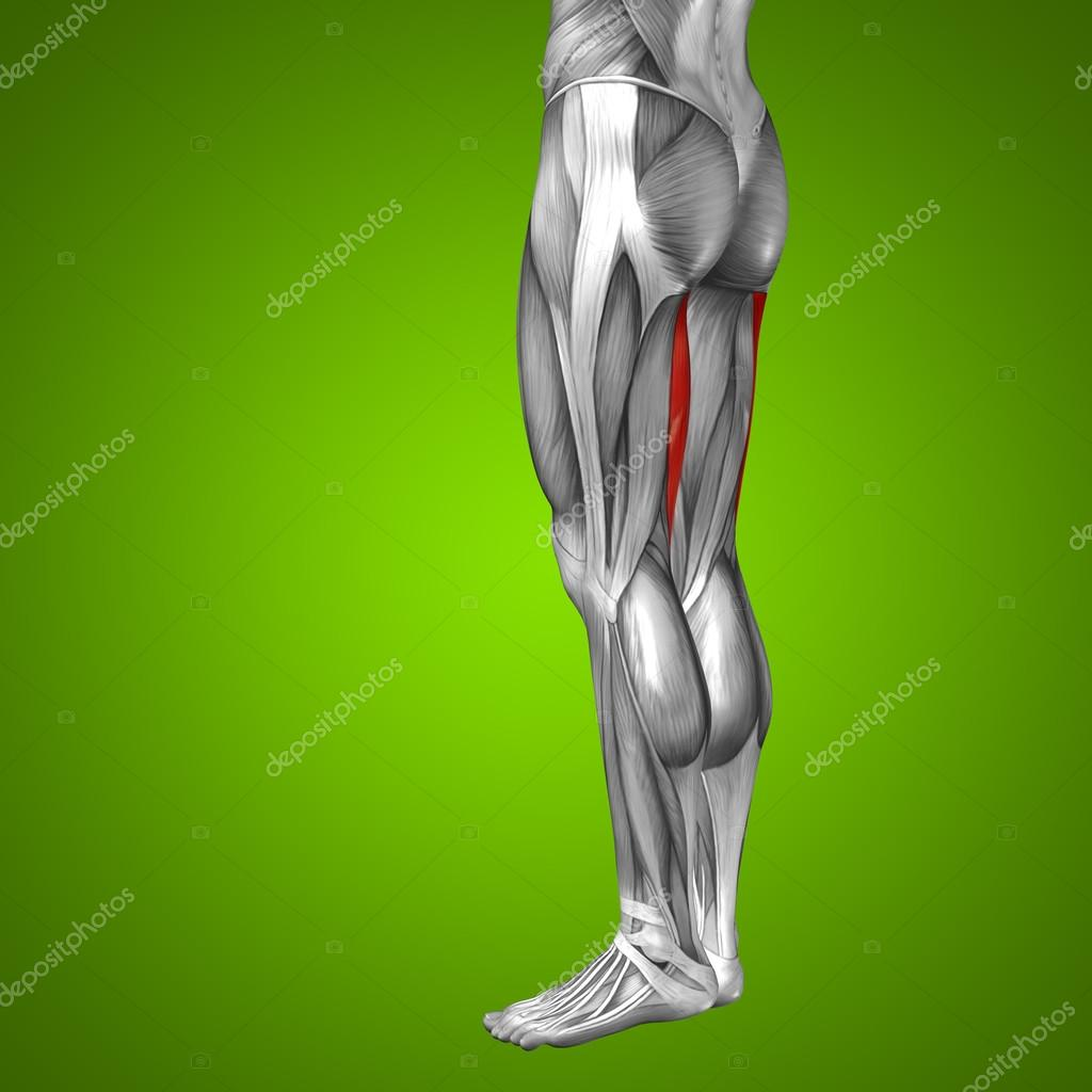 Oberschenkel-Anatomie — Stockfoto © design36 #103635916