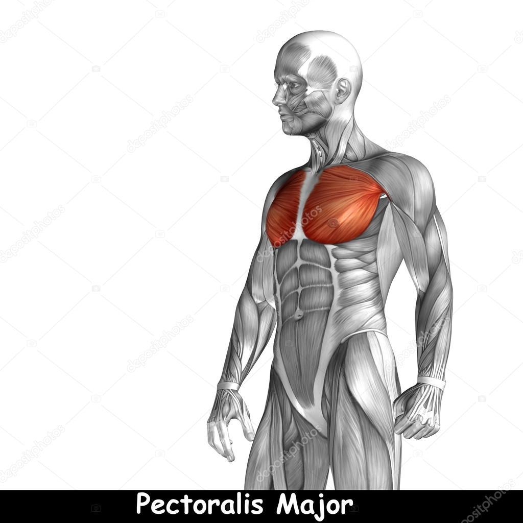 Anatomía del pecho — Foto de stock © design36 #103636852