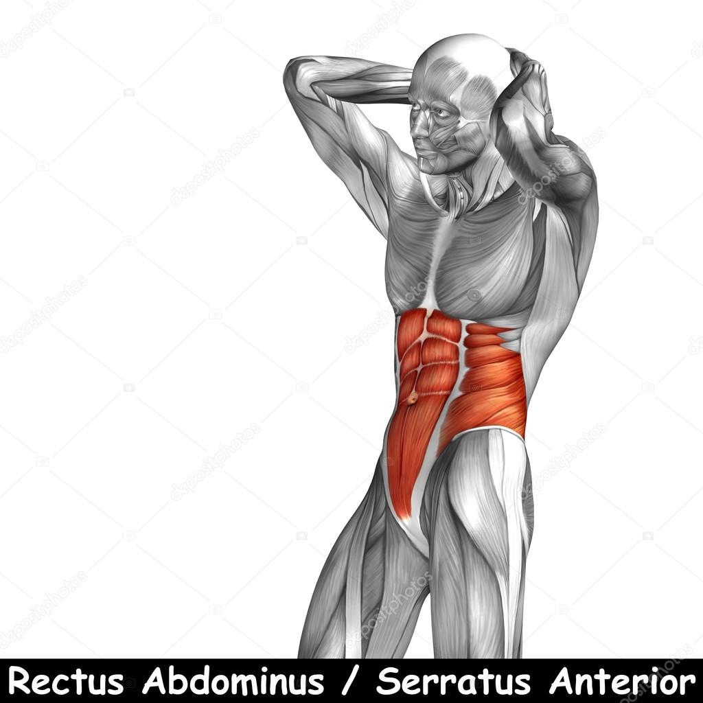 Menschliche Anatomie der Brust — Stockfoto © design36 #105211906