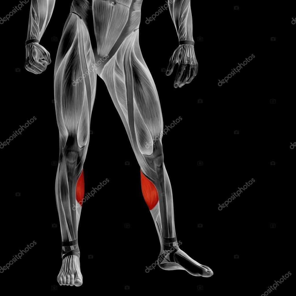 Anatomía de las piernas más baja — Fotos de Stock © design36 #105215042