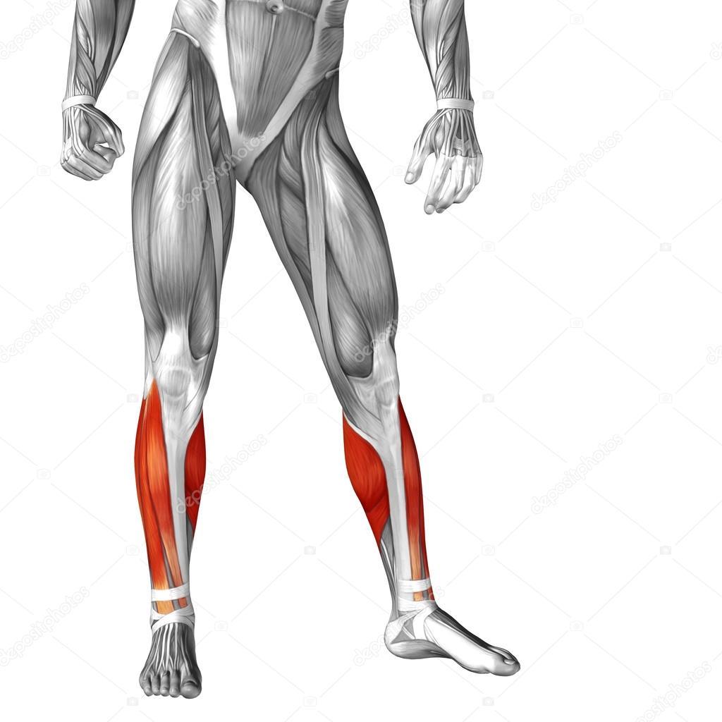 Anatomía de las piernas humanas — Fotos de Stock © design36 #105216116