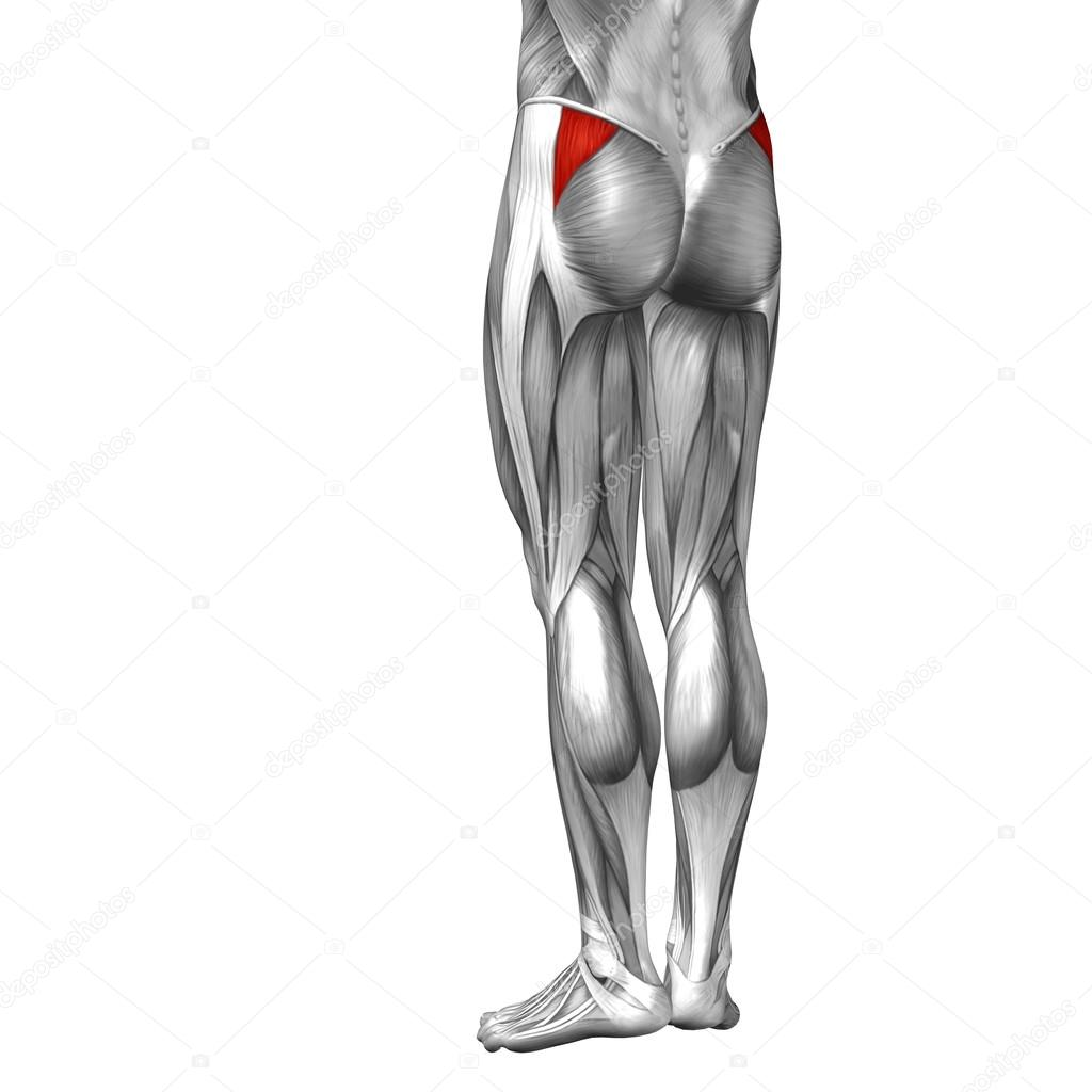 legs anatomy and muscles — Stock Photo © design36 #105217716