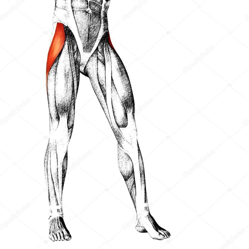 Adductor Longus Human Upper Legs Stock Photo Design36 105218496