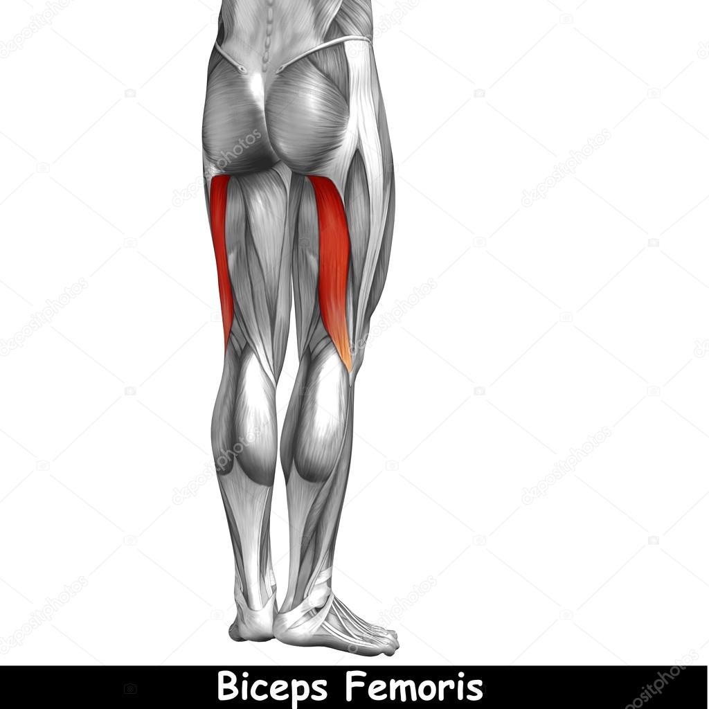 Oberschenkel-Anatomie — Stockfoto © design36 #105223328