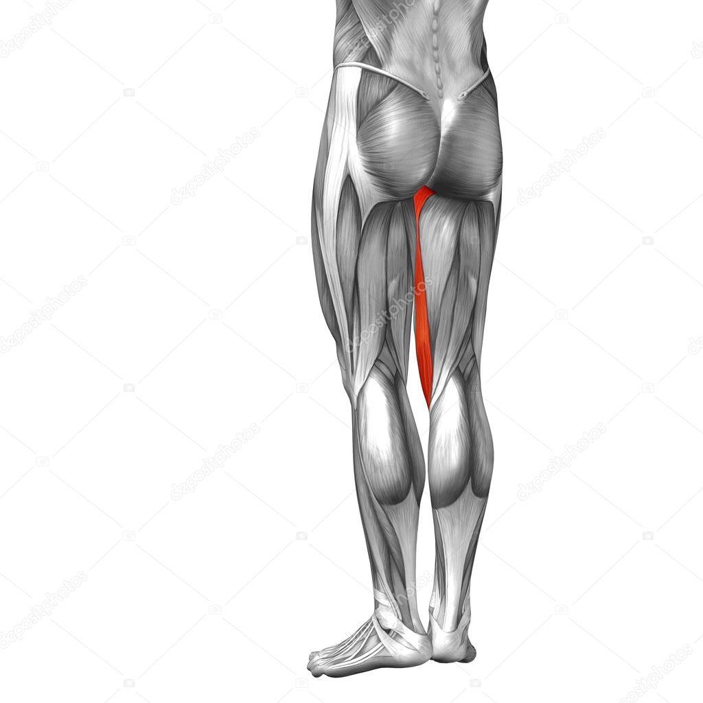 Anatomía de las piernas y los músculos — Fotos de Stock © design36 ...